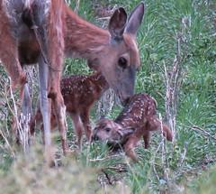 Wild Mule Doe twins 2 (got2snap) Tags: twins fawns deer muledeer doe new born animals country countrysaskatchewan sx60 canon wildlife