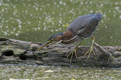 Green heron on log..Best details when viewed full screen. (Mel Diotte) Tags: green heron bird wild nature hunting mel diotte explore nikon d500