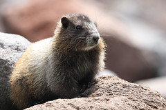 Hoary Marmot (Zach Hawn) Tags: alpinewildlife wildlife animal alpine nature mountrainiernationalpark mora mrnp nps nationalparkservice findyourpark pacificnorthwest pnw wander hiking trail mountains cometfalls mildredpoint adventure citizenscience research biology science outdoors
