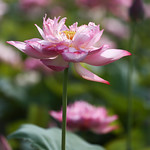 lotus1 thumbnail