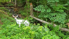 Summertime Whitetail Buck (SmithJ88) Tags: whitetail deer samsunggalaxys7 woods forest piebald mammal rare