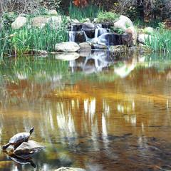 Descanso Gardens (sofiasamarah) Tags: review turle animals animal reptile amphibian sun sunny sunshine pond water lake stream fountain descanso gardens la canada flintridge los angeles california nature sofia samarah photography