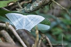 DSC_3622_Madagascar (Rocco Comandè 2010) Tags: roccocomandè©photography africa madagascar 2018 island butterfly farfalla foresta forest macro