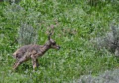 Newborn Pronghorn Fawn - 6304b (teagden) Tags: pronghorn pronghornfawn fawn newborn wobbly cute jenniferhall jenhall jenhallphotography jenhallwildlifephotography wildlifephotography wildlife nature naturephotography wyoming wyomingwildlife photography wild nikon newbornfawn newbornpronghornfawn pronghornantelope antelope americanantelope