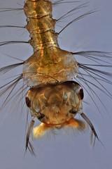 Mosquito larva (mr.sansibar) Tags: jansjö insect diptera focusstacking planapo olympusbh2 photomicrography microscopy heliconfocus larva polarizedlight culex culicidae mosquito arthropoda