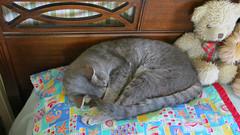 Millie Sleeping #1 12 July 2018 0196Ri 9x16 (edgarandron - Busy!) Tags: millie graytabby cat cats kitty kitties tabby tabbies cute feline