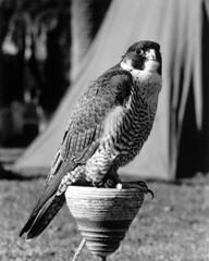 Falconer's Peregrine (Mike Connealy) Tags: peregrine falconry californa pentaxspotmatic film analog 1975