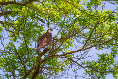 Osprey In The Shade (John Kocijanski) Tags: osprey bird birdofprey animal raptor perched tree nature wildlife canon400mmf56 canon7d