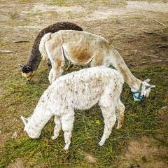 Drei gute Freunde (Mike Bonitz) Tags: deutschland germany bayern bavaria bayrischerwald sanktenglmar maibrunn waldwipfelweg alpakas alpacas drei three tiere animals instagram googlepixel