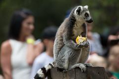 Lunchtime. (Chris Firth of Wakey.) Tags: ringtailedlemur lemur yorkshirewildlifepark