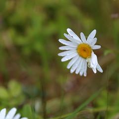 The daisy and the spider (liisatuulia) Tags: porkkala dilojun2018