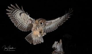 Tawny owl inflight