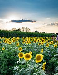 sunflowers-BobG-3 (bgdesign2016) Tags: sunflowers full moon