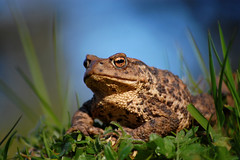 Toad (Gavin MacRae) Tags: toad commontoad bufobufo amphibian herpetology scottishwildlife scottishnature highlandnature highlandwildlife nature nikon wildlife highlandsofscotland scotland