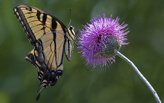 Yellow and Pink (Randy E. Crisp) Tags: papilionidae swallowtail randyecrisp randycrisp crisp canon tamron150600mm sky woods wildlife 7dmkii 7dmark2 7dmk2 outdoors tx texas centralflyway water 2018 2017 2016 2015 2014 2013 nature perched handheld zoom cropcamera flower butterfly insect