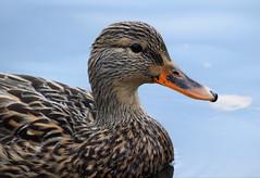 Mallard (careth@2012) Tags: mallard duck beak feathers nature wildlife britishcolumbia nikon d3300 nikond3300