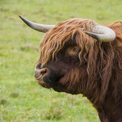 The Boss ~ Highland Bull (Margaret S.S) Tags: highland bull bovine