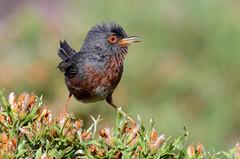 Toutinegra do mato - Dartford warbler - Sylvia undata (Yako36) Tags: portugal serradafreita ave bird birdwatching wildlife nature natureza nikon200500 nikond7000