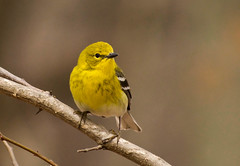 Pine Warbler (Kremlken) Tags: warblers springmigration pennsylvania birds birding pymatuningstatepark nikon500 nwpa
