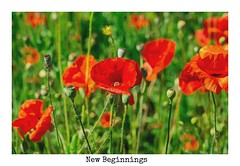 New Beginnings (amarilloladi) Tags: exhibitiongarden 7dwf blooms buds flora fieldofpoppies flowers poppy redpoppies photoart sliderssunday hss poppies