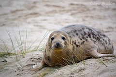 Seal (Jen Buckle) Tags: seal beach greyseal animal dunes sanddunes mammal halichoerusgrypus