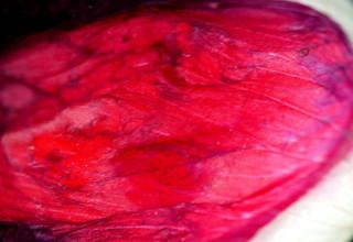 Blütenblatt vom Klatschmohn