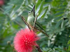 IMG_4104 Red-legged Honeycreeper ( female) (suebmtl) Tags: bird birding elvalledeanton panama cocleprovince redleggedhoneycreeper cyanerpescyaneus