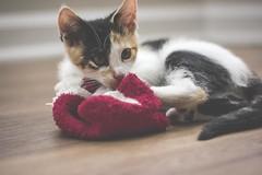 IMG_4036 (pungpungfish) Tags: canon 50mm photography portrait animalphotography portait kitten calico calicocat animal pet cat red wine sock cute adorable