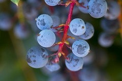 Berry Bokeh (s.d.sea) Tags: berry oregon grape holly macro blue nature summer plant grow pnw pacificnorthwest washington washingtonstate green garden pentax k5iis