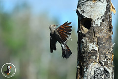 Northern Flicker (MarkWarnes) Tags: flicker northernflicker bird birds birdsinflight woodpeckers montana yellowstone