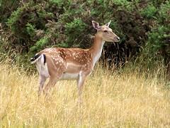 Fallow Deer (ERIK THE CAT Struggling to keep up) Tags: deer fallow brocton height cannockchase staffordshire mammals ngc npc