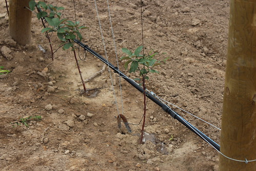 """Plant in Place""  with drip irrigation"