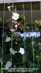 Morning Glory climbing up strings on balcony 10th August 2018 (D@viD_2.011) Tags: morning glory flowering balcony railings 10th august 2018