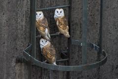 3 Barn owl fledglings (Phil D 245) Tags: