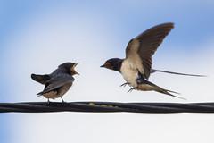 Barn Swallows (DanielaC173) Tags: swallow barnswallow hirundorustica andorinhadaschaminés andorinha bird feeding chicks juvenile ave