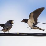 Barn Swallows thumbnail