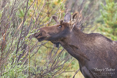 Young Moose bull samples the foliage