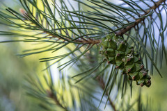 Green pine cone (tomotionpicture) Tags: green color backgrounds beauty nature bokeh branch closeup cone coniferous tree day focus foreground freshness growth needle plant pine selective sharp sunlight tranquility twig wallpaper yellow