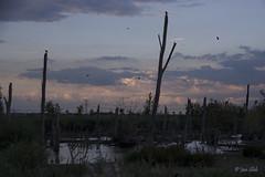 Nightfall (Jan Slob) Tags: rotterdam nesselande zuidholland netherlands holland nightfall nightshot sky deadtrees birds water swamp nikon nikond750 ©allrightsreserved geotagged tree explore