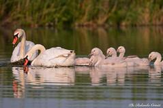 Cigno _019 (Rolando CRINITI) Tags: cigno uccelli uccello birds ornitologia curtatone mincio natura
