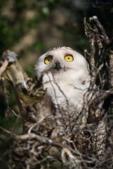 Snowy owl sitting on a old root (Cloudtail the Snow Leopard) Tags: schneeeule tier animal vogel bird eule scandiacus buboscandiaca nyctea snowy owl zoo stadtgarten karlsruhe