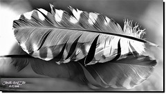 Feather and its Shadow (2) (jawadn_99) Tags: interrestingness sky art creative photography shadow performance black white feathers birds roosters wild kuwait explore