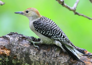 red-bellied woodpecker juvenile at Lake Meyer Park IA 653A2081