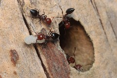 Relocation - 07 VIII 2018 (el.gritche) Tags: hymenoptera france 40 garden formicidae relocation crematogaster scutellaris crematogasterscutellaris nest nymph