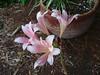 8/2018  Surprise Lily (jHc__johart) Tags: oklahoma surpriselily pink garden flowerpot soil