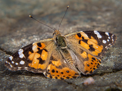Painted Lady Butterfly (roseysnapper) Tags: douneside house olympus mzuiko digital ed 75300mm f4867 ii omd em10ii painted lady butterfly royal deeside vanessa cardui close up filter scotland bug insect nature outdoor