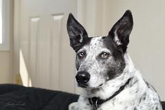 a lady of 8 (Claudia Künkel) Tags: oregon blanca dog bordercolliemix speedlight sb700 softbox portrait