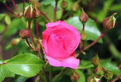 REFORD GARDENS | SHRUB ROSE  |   LES JARDINS DE MÉTIS  | QUEBEC  |  GASPESIE   |  CANADA (C C Gosselin) Tags: reford gardens | shrub rose les jardins de métis quebec gaspesie canada rosa fabulous floribonda rosier canon 7d 7dmarkii rebel t2i canonrebelt2i eos canon7d markii rebelt2i canonrebel canont2i eost2i eos7d eos7dmarkii mark 2 mark2 eos7dmark2 canon7dmarkii ii canoneosrebelt2i canoneos7d canoneos ph:camera=canon flickr