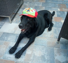 PAW Patrol (*Tom68*) Tags: hund dog schwarz black labrador
