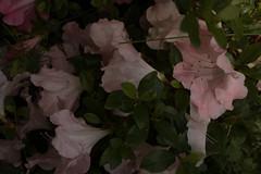jdy152XX20180601a4835Bias-1.7 stops.jpg (rachelgreenbelt) Tags: orderericales eudicots familyericaceae subfamilyericoideae rhododendrongenus asteridsclade oneplant rhododendrongwenda singleflower singleplantportrait